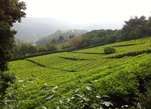 Tea Garden in China Royalty Free Stock Photography
