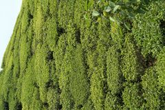 Tea Garden Close-up Royalty Free Stock Photo