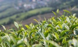 Tea garden Royalty Free Stock Photography