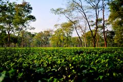 Tea Garden Darjeeling Stock Photos