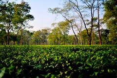 Tea Garden Darjeeling Stock Photos