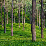 Tea Garden Detail. Tea garden in Tamil Nadu, India royalty free stock images