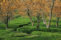 Tea Garden Estates of Kangra India Royalty Free Stock Images