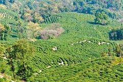 Tea garden Royalty Free Stock Photos