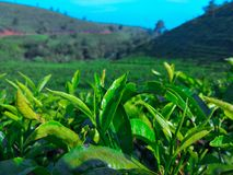 Tea garden. The freshnes view with the green tea garden Stock Photo