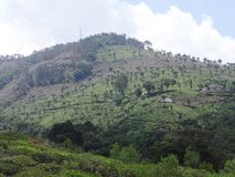 Tea garden at hills. This is a tea garden from ooty, india. Awesome view of tea garden that you may love Royalty Free Stock Photography