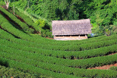 Tea garden and hut. In northern thailand royalty free stock photography