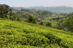A tea garden in India royalty free stock images