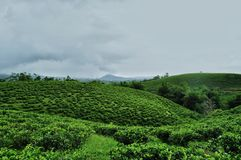 Tea garden landscape. Background stock image