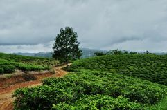 Tea garden landscape. Background royalty free stock photography