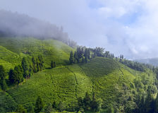 Tea garden. Landscape of tea garden, plantation. This was shot in darjeeling, India stock image