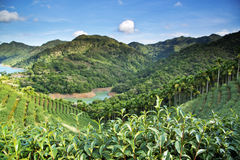 Tea garden landscape. In Tawain Taipei Royalty Free Stock Photos