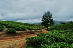 Tea garden landscape. Background stock photography