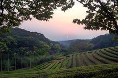 Tea garden stock image