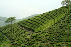 Tea Garden on Mountain Slope Royalty Free Stock Photo