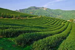 Tea garden on mountatin in north of Thailand Stock Image