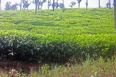 Tea Garden Near Chikmagalur, Karnataka, India Royalty Free Stock Photos