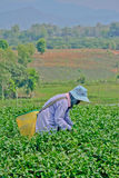 Tea garden in northern thailand Royalty Free Stock Images