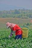 Tea garden in northern thailand Stock Image