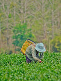 Tea garden in northern thailand Stock Photos