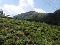 Tea garden awesome top view of from top of hills. This is a tea garden from ooty, india. Awesome view of tea garden that you may love Stock Photo