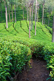 Tea Garden Path. Tea garden in Tamil Nadu, India stock images