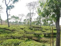 Tea garden picture royalty free stock photography