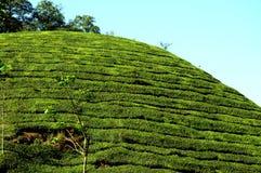 Tea garden Stock Images