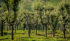 Tea garden with rubber tree royalty free stock photos