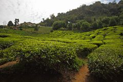 Tea garden scenery Stock Images