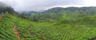 Tea garden. Scenery green tea plantation at cameron highlands Stock Images