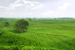 Tea Garden. Sidamanik, Simalungun, Indonesia royalty free stock image