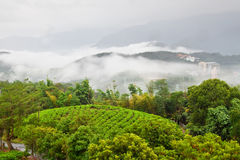 Tea garden on sloppy hill Stock Photo