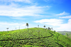 Tea Garden - South India. An enchanting view of the undulating tea gardens at Kuttikkanam, Kerala. When the velvety green hills kiss the blue skies it will make Royalty Free Stock Images