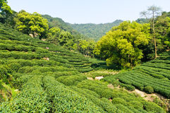 Tea garden Stock Image