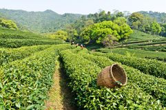Tea garden. Spring, hangzhou west lake longjing tea garden, in China royalty free stock photo