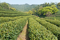 Tea garden Royalty Free Stock Photography