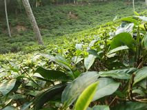 Tea-garden of sri lankan natural photos. Very nice location.beautiful tea garden.green tea image.very good tea of sri lanka.standard tea.very sweet drink cup of stock images