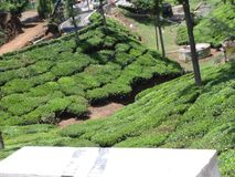 Tea garden step farming greenery view. This snap is from tea ooty india. Awesome tourist place that you always love that is so awesome Royalty Free Stock Image