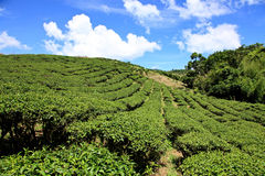 Tea garden,Taiwan. Tea garden in summer season, Hualien ,Liushishishan, Eastern Taiwan stock photos