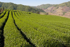 TEA GARDEN IN Thailand Stock Images