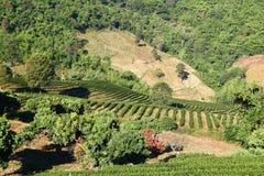Tea Garden in Thailand. Fresh Tea garden on top mountain in Thailand Royalty Free Stock Photography