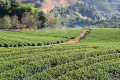 Tea Garden in Thailand. Fresh Tea garden on top mountain in Thailand Royalty Free Stock Photo