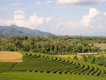 Tea garden under cloudy blue sky in Chiangrai Royalty Free Stock Photo