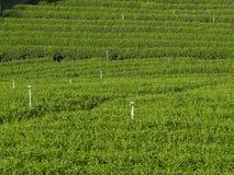 Tea garden under cloudy blue sky in Chiangrai Stock Photography