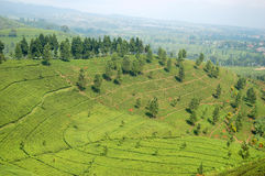 Tea garden valley Royalty Free Stock Photo