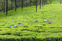 Tea Garden Royalty Free Stock Photos