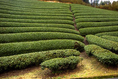 Tea garden, Wazuka, Japan Stock Images