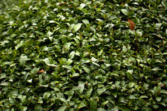 Tea garden, Wazuka, Japan Stock Photo