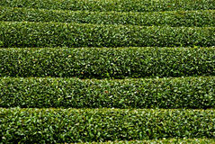 Tea garden, Wazuka, Japan Royalty Free Stock Image